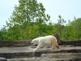 Bear at the Cleveland Metroparks Zoo