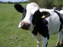 Dairyland Farmworld: Visitor Attraction in Newquay, Cornwall.