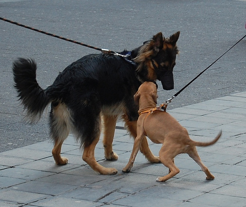 Allowing your dog to greet in a relaxed manner  and with a slack leash, can prevent any unnatural posturing that might cause the other dog to feel threatened.