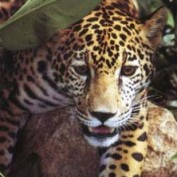 jaguar woman profile image