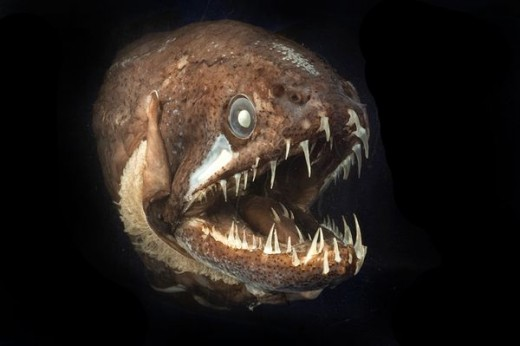 The Tooth Tongued Dragon Fish