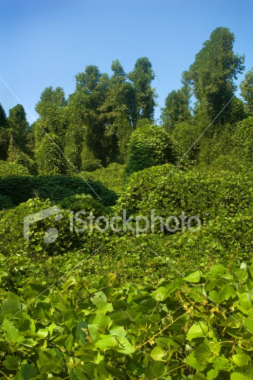Kudzu was imported as a decorative vine with disastrous consequences for the south east US.