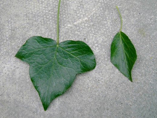 The familiar shape of the ivy leaf on the left and the less familiar shape on the right. Photograph by D.A.L.