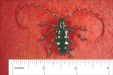 Asian Longhorned Beetle. Photo by U.S. Forest Service