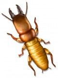 Picture of a Dampwood Termite