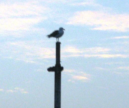 Seagull in Newport Harbor