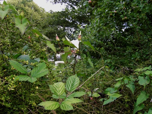 Hedge bindweed on bramble. Photograph by D.A.L.
