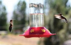 Nature Notes - the Hummingbird Feeder War