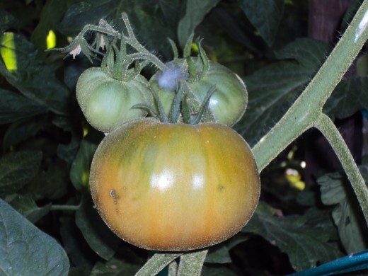 Here is a delectable ripening tomato with two little friends sitting next to him on the branch.  Yummy, simply yummy!