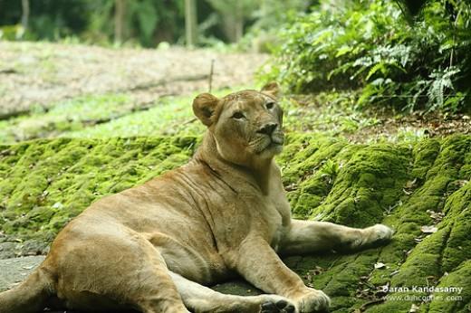 African Lion.     Photo by: Daran Kandasamy