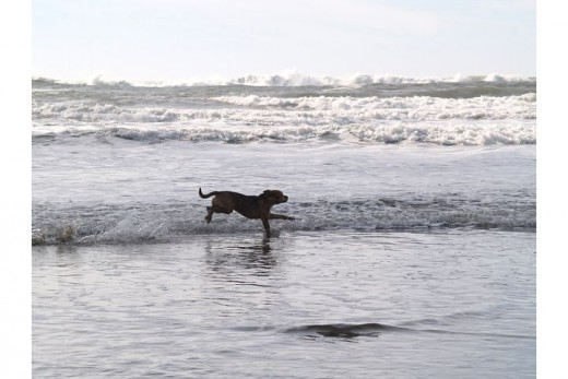 Dogs love playing in the ocean along the Oregon Coast