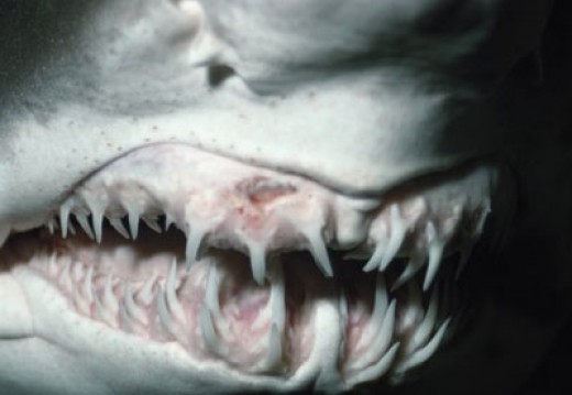 A sand tiger sharks grin. Could braces have helped here?  Smile for the camera baby