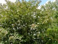 Lancaster Whitebeam-a Rare Species