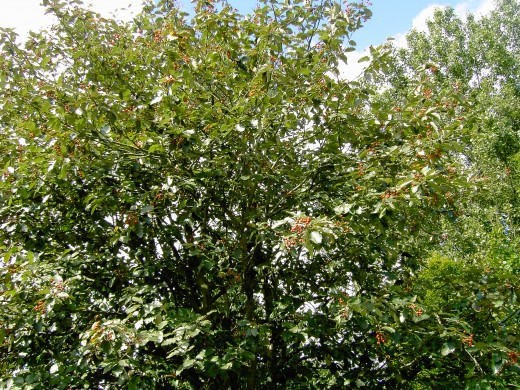 Common whitebeam ladened with berries. Photograph by D.A.L.