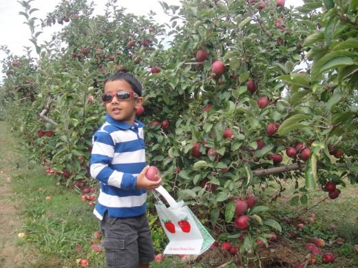 Apple picking is fun