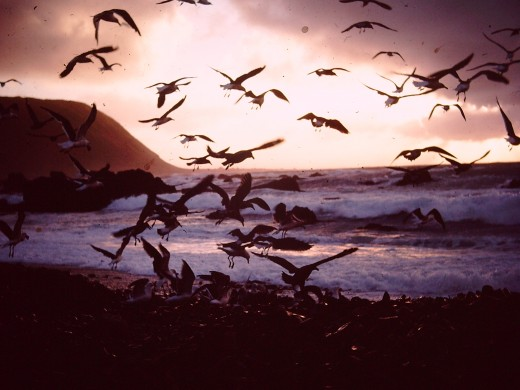 We used to throw out the kitchen slops at sunset, hence the wild flurry of sea birds.