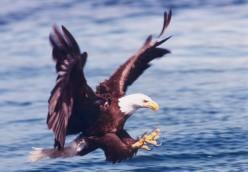 Eagles abound for salmon