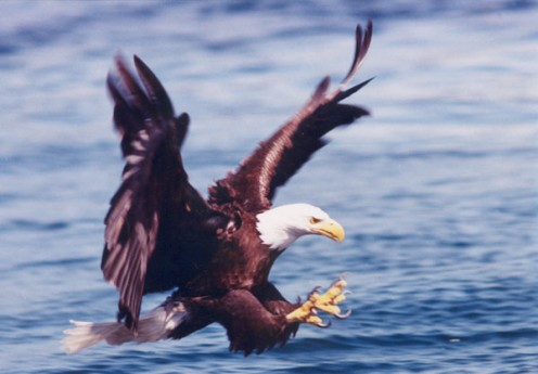 Eagles abound for salmon