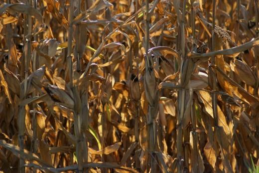 Corn.  I had never seen corn grow so tall.
