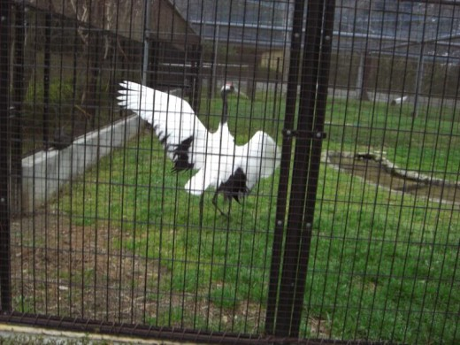 One of the aviary cranes showing off to the other.