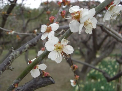 Ume (plum) blossoms.