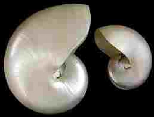 Highly polished shell