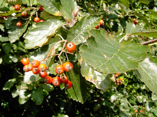 RIPENING BERRIES OF THE WHITEBEAM. PHOTOGRAPH BY D.A.L.