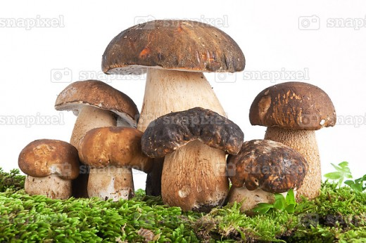 Boletus mushrooms come in a wide variety of colors, but the basic form is consistent.