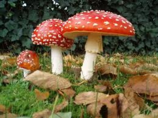There is a large amount of literature based on this single mushroom, the amanita muscaria. which is one of the most easily distinguished mushrooms.