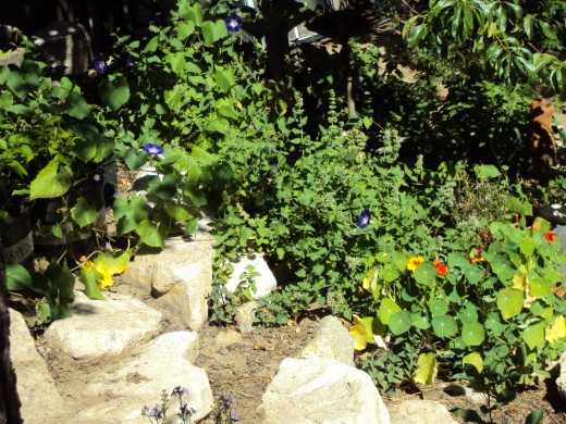 Here is a picture of more purplish-blue morning glories,and red and orange nasturtiums, which are an edible flower.  Never eat flowers unless you know these are edible, but nasturtiums are an edible flower that taste good in salads.