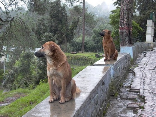 Two dogs sitting on the porch of McLeodganj near Dharamshala and watching the natural beauty of this area.