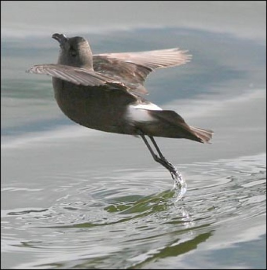 "It's ""Feet Wet"" at MacQuarie Island for this bird.   A beautiful bird ballet."