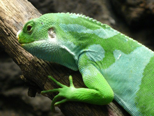Fiji Banded Iguana from the Zoo
