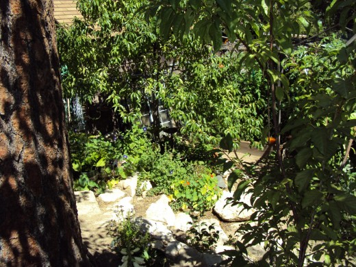 Looking down from the old sequoia trunk to the garden below.