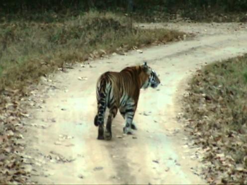 Tiger at Kanha