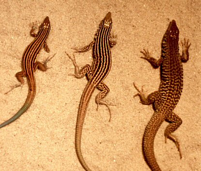 Whiptail lizards.