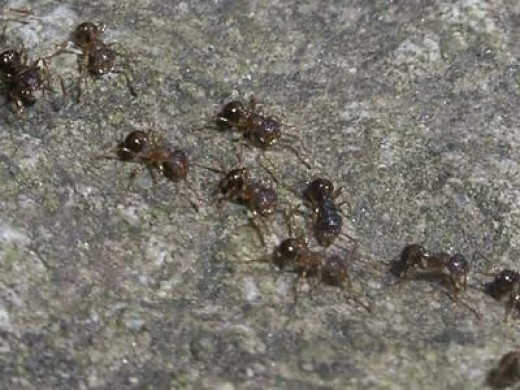 All-female ant species.