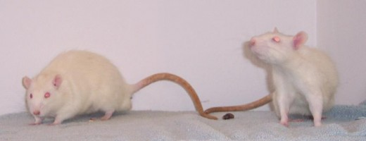 Albino rats