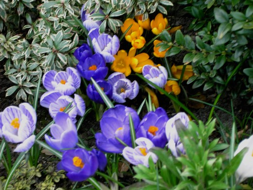 Crocus provide the first vibrant colours of spring. Photograph by D.A.L.