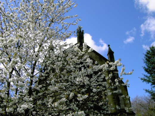 Cherry blossom at Upholland church. Photograph by D.A.L.