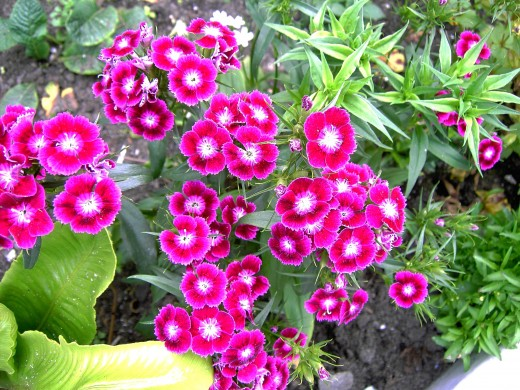 Sweet william did well this year in the garden. Photograph by D.A.L.