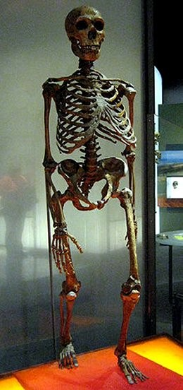 A skeleton of Homo neanderthalensis on display at the American Museum of Natural History. Was this the target of Noah's Flood?