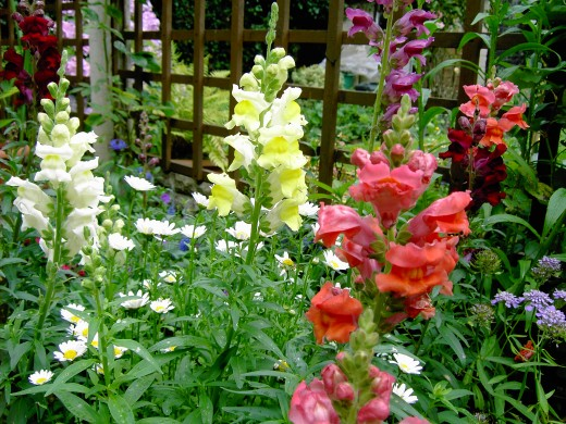 Snap dragons provided a good display of colour and attracted bees to the garden. Photograph by D.A.L.