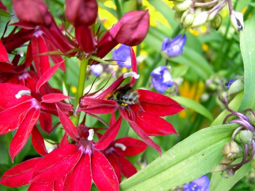 Bee entering this re perennial lobelia flower. Photograph by D.A.L.