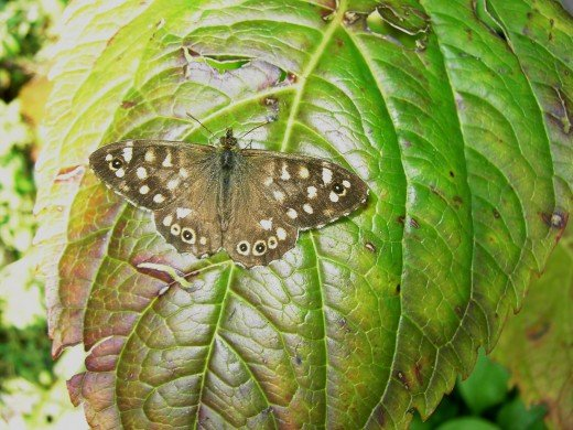 Speckled wood bathing in the sun . photograph by D.A.L.