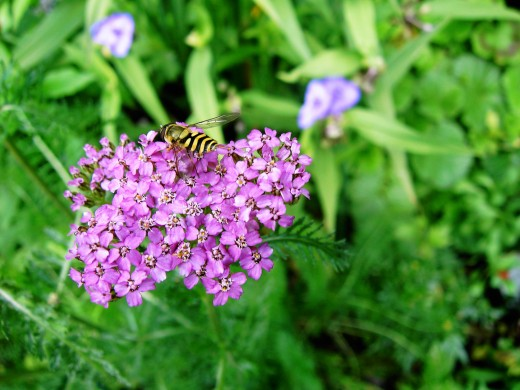 Many flowers like this cultivated yarrow attract hoverflies. Photograph by D.A.L.