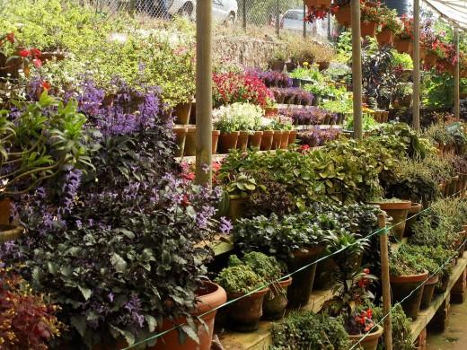 Flower Garden, Munnar