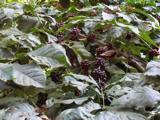 Coffee Beans - Spice Garden, Munnar