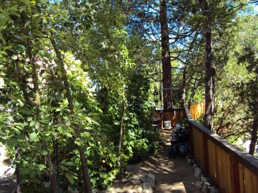 Walking around the apple trees on the garden path.