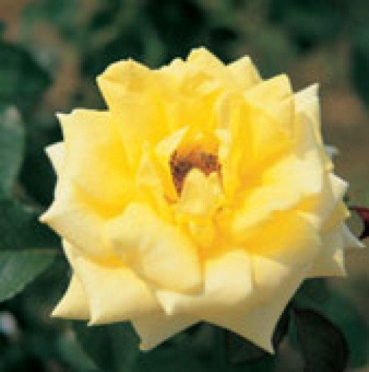 She was like a Yellow Rose. (royalty free,by Tongro Image)